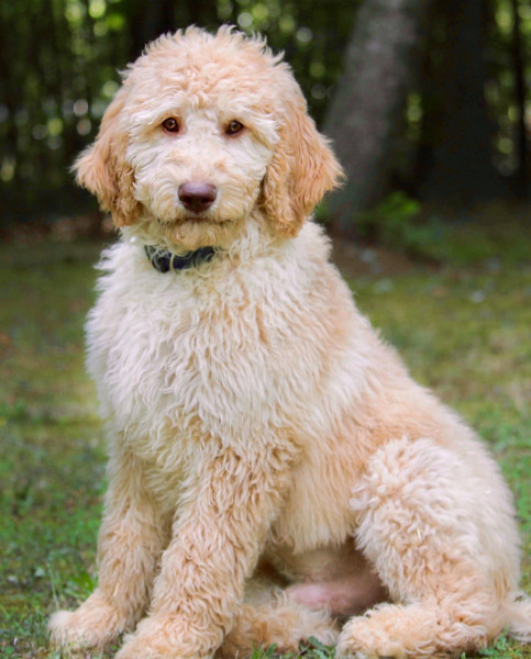 Australian Labradoodle Puppies For Sale | Ausm Labradoodles